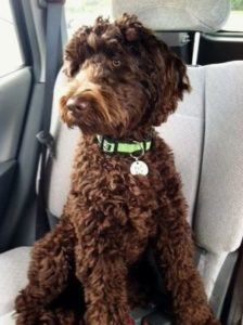 Brown Labradoodle Puppies for Sale