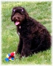 Standard Chocolate Labradoodle Female