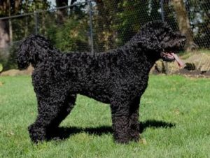 Black Labradoodle Service Dogs For Sale