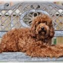 Aussie Labradoodle's Rudy 2 Shoes – RETIRED