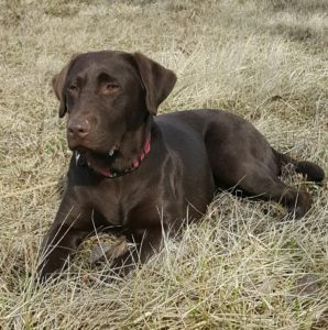Brown female labrador
