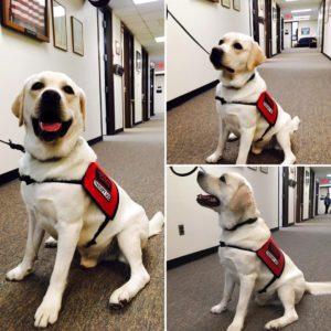 English Labrador Puppies Service Dogs