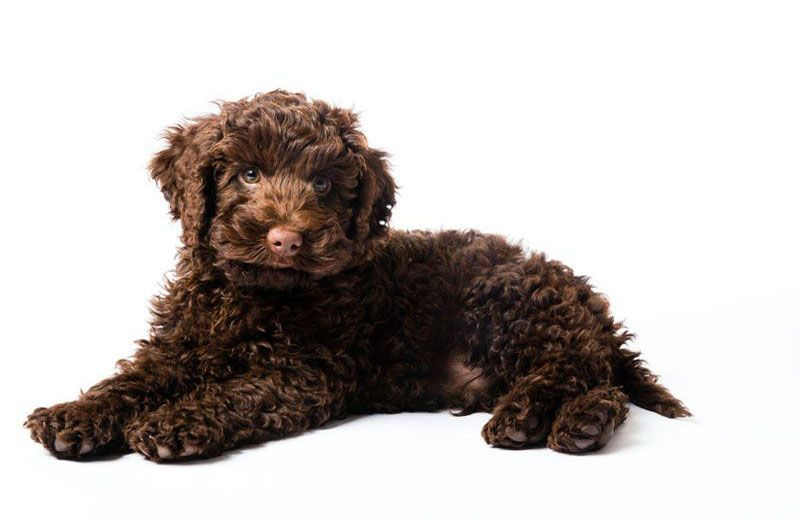 Trained Labradoodles Therapy Dogs For Sale Meadow Park