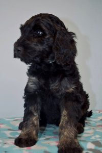 Trained Labradoodles Therapy Dogs For Sale Meadow Park Labradoodles