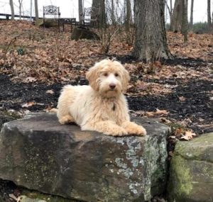 Labradoodle Training Services in Indiana