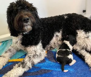 Labradoodle Puppies for Sale in Indiana